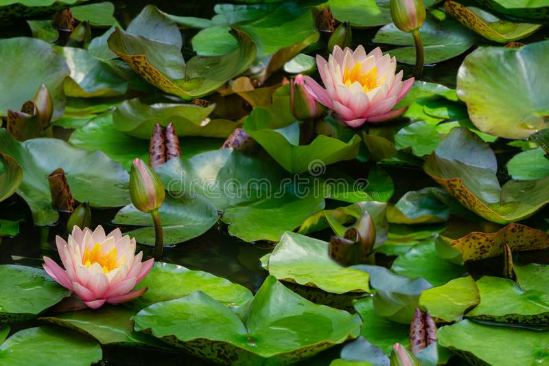 Seamless natural photo background with lotus flower or water lily. Floral pattern with beautiful nympheas in green and pink royalty free stock photo
