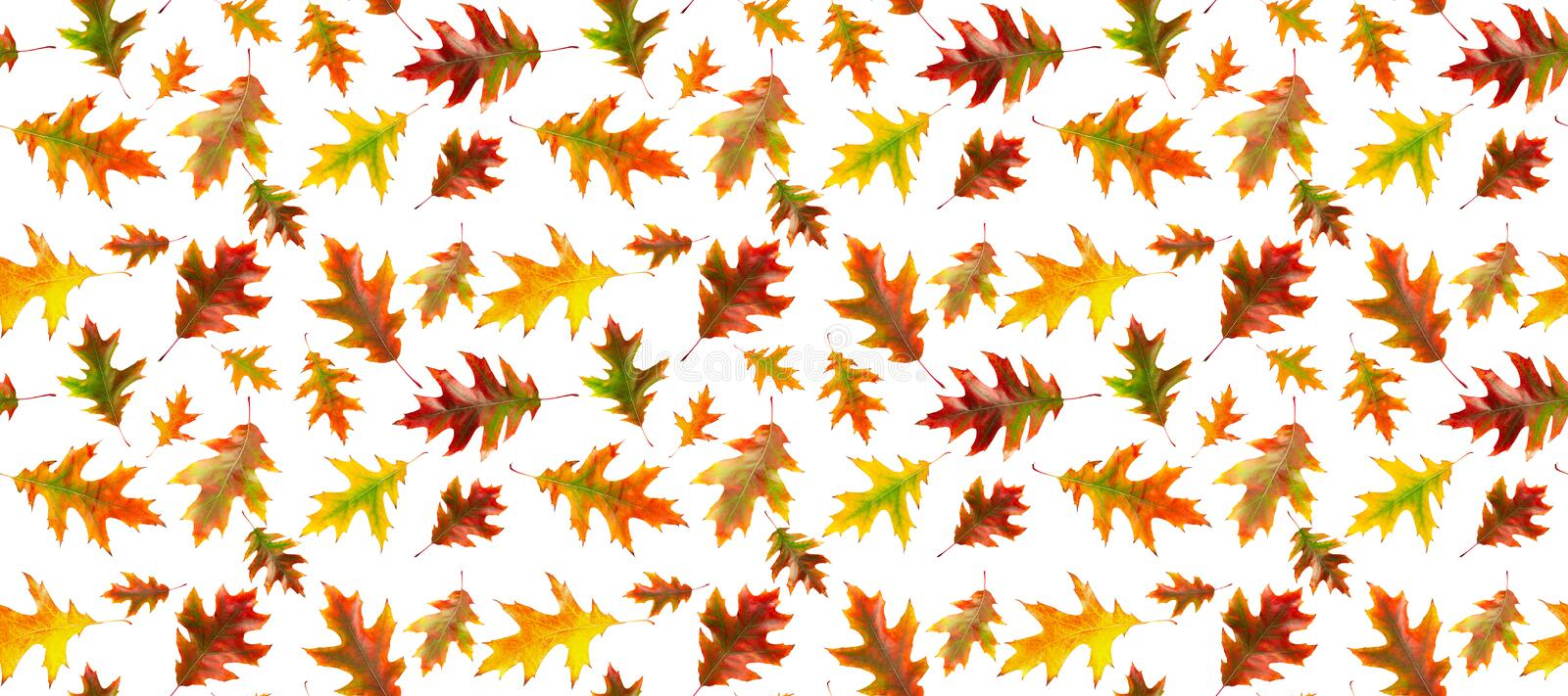 Seamless pattern of autumn oak leaves isolated on a white background. Bright multi-colored oak leaves. Banner. Seamless pattern of autumn oak leaves isolated on royalty free illustration
