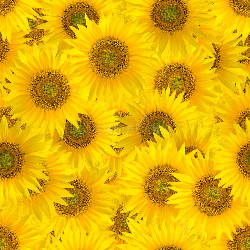 Seamless pattern with big bright sunflowers. royalty free stock photo