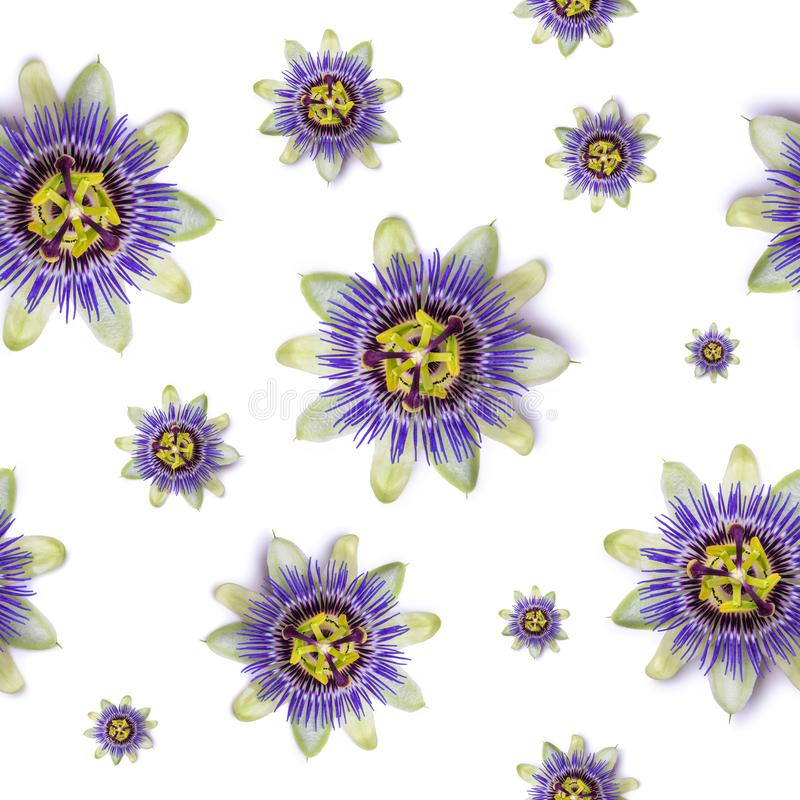 Seamless pattern with Passiflora passionflower on white background. royalty free stock photos