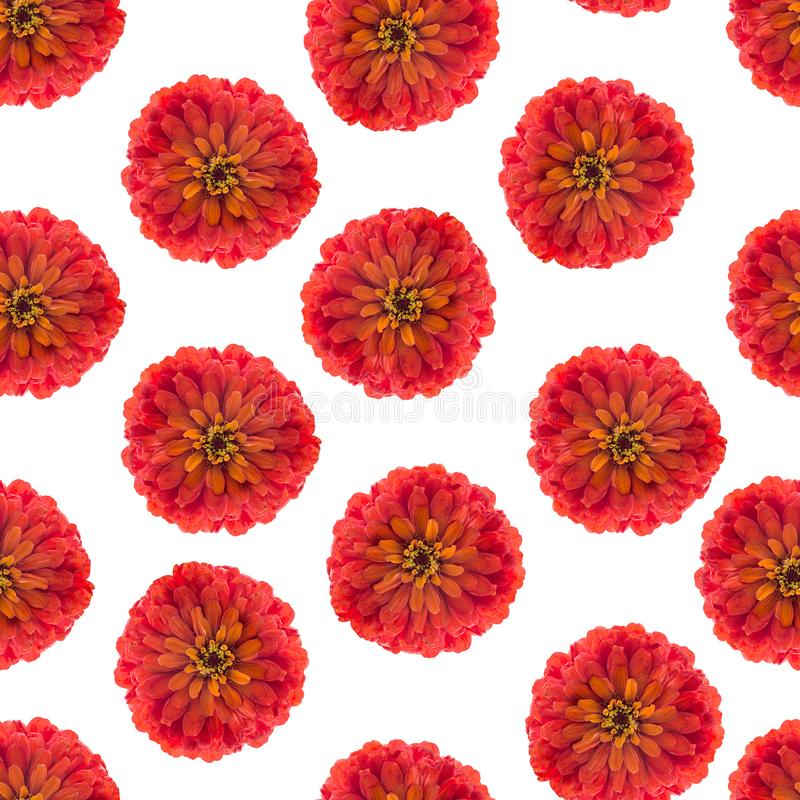 Seamless pattern with red flower of zinnia elegans for decorating gift paper and textile royalty free stock images