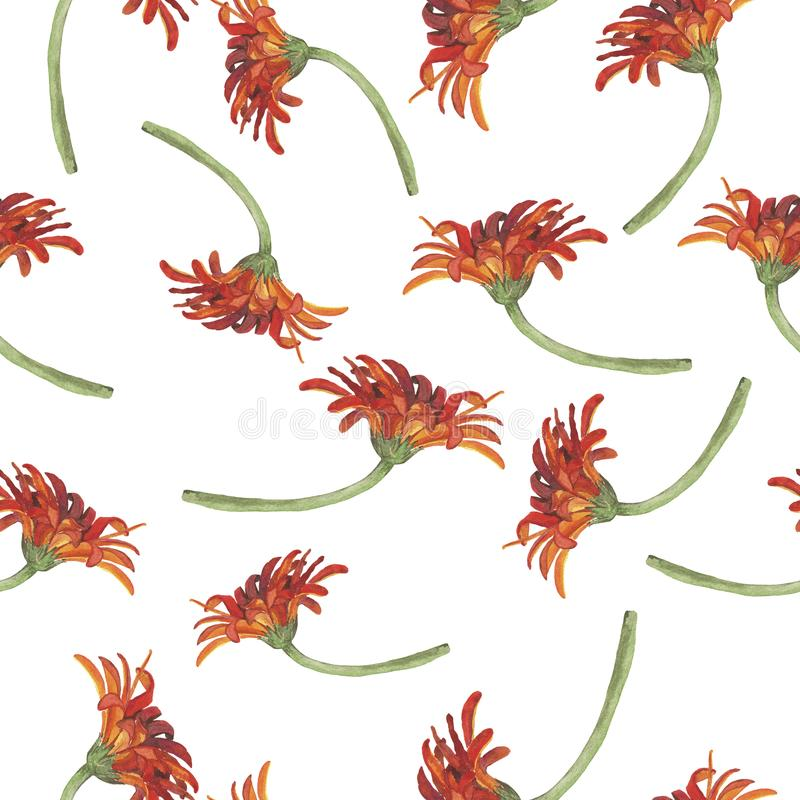 Pattern with red gerbera daisy or chrysanthemum flowers. Watercolor illustration. stock illustration