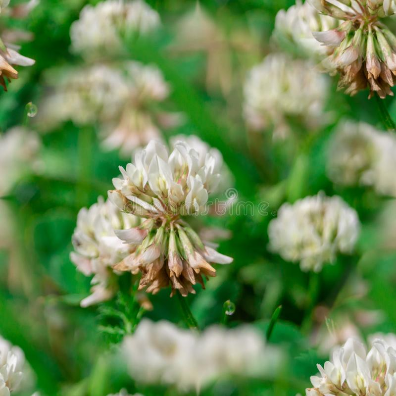 Seamless pattern Trifolium repens. The white clover grows on a meadow. Clovers, nature, flowers, grass, summer, plants, green, backgrounds, seasons, closeup stock photo
