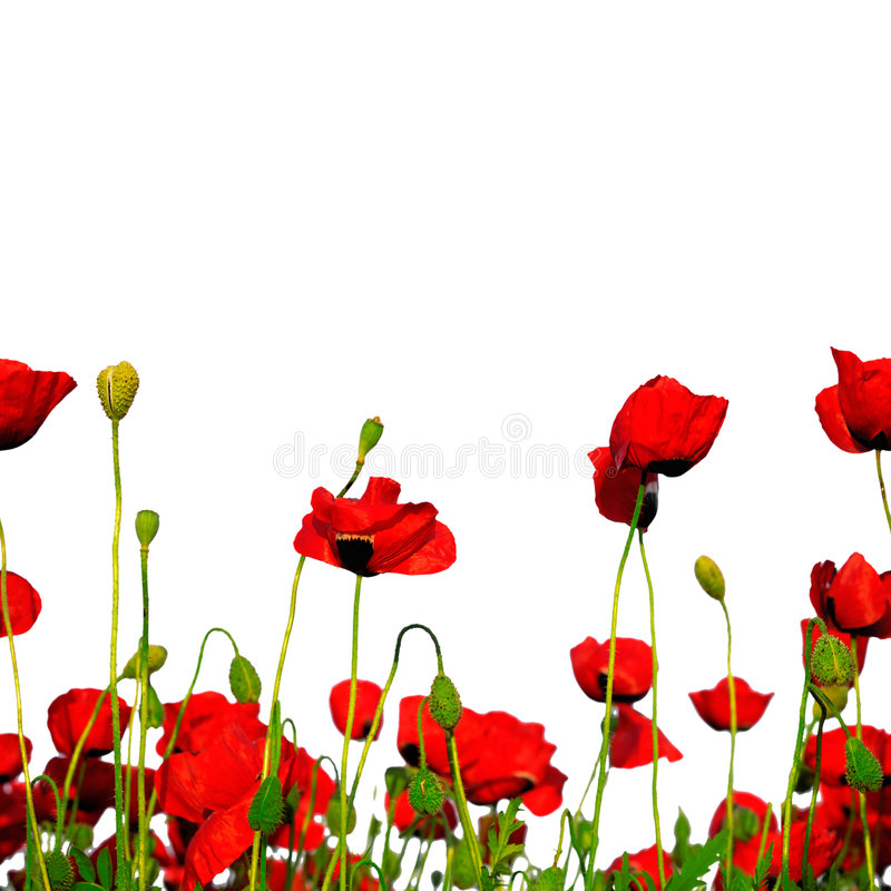 Seamless row of poppies. Seamless repeating row of poppies stock photos