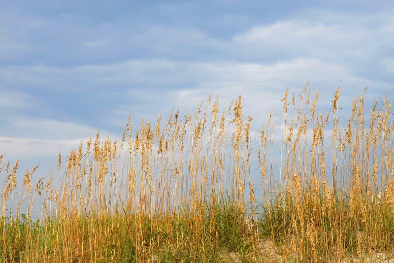 Seaoats sur la dune contre s bleu images stock