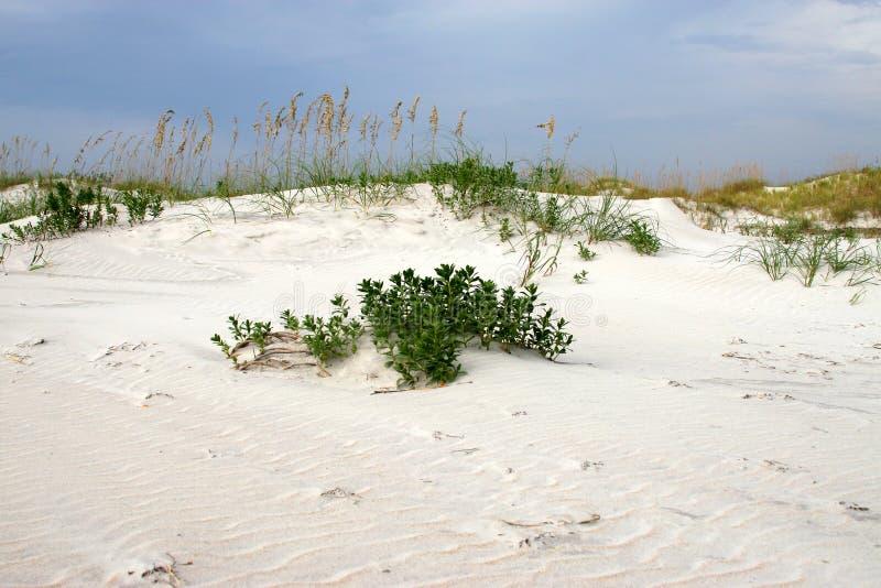 Seaoats sur la dune contre s bleu photographie stock libre de droits