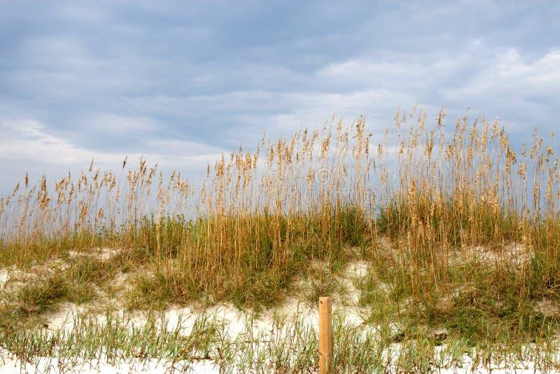 Seaoats sur la dune de sable   photos libres de droits