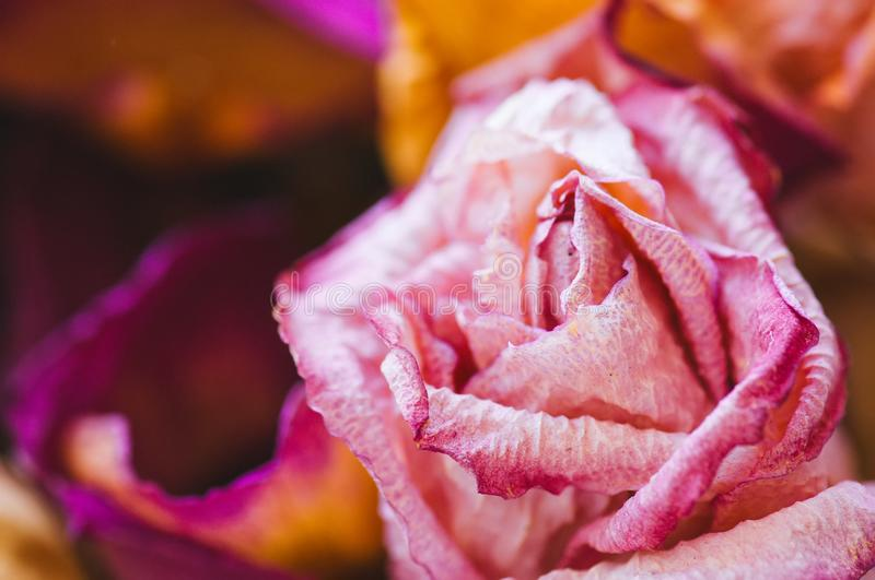 Sear pink and violet rose petals royalty free stock photo