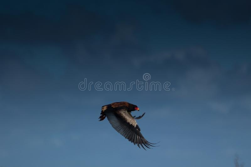 The Search begins. A Bateleur eagle launches itself into the sky to begin its` relentless daily search for food stock photos