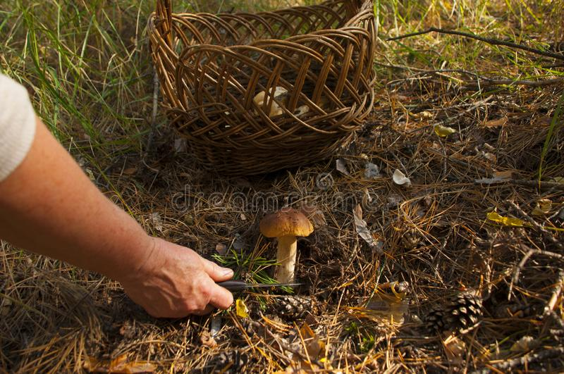 The search for mushrooms in the woods stock photo