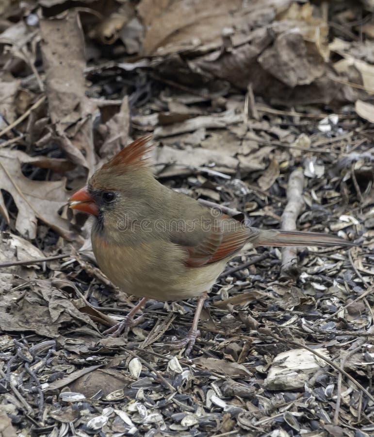 Searching cardinal femenino para las semillas imágenes de archivo libres de regalías