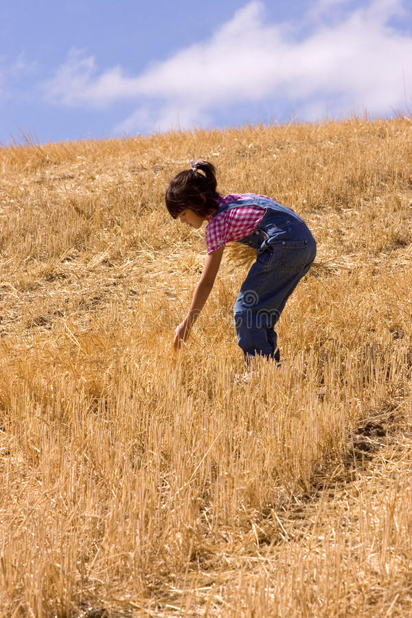 Download Searching For Leftover Wheat Stalks Stock Photo - Image: 16054938