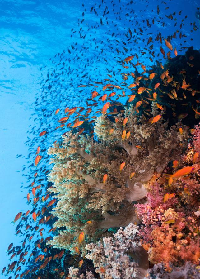Seascape της κοραλλιογενούς υφάλου και του κοπαδιού των anthias Lyretail στοκ φωτογραφία με δικαίωμα ελεύθερης χρήσης