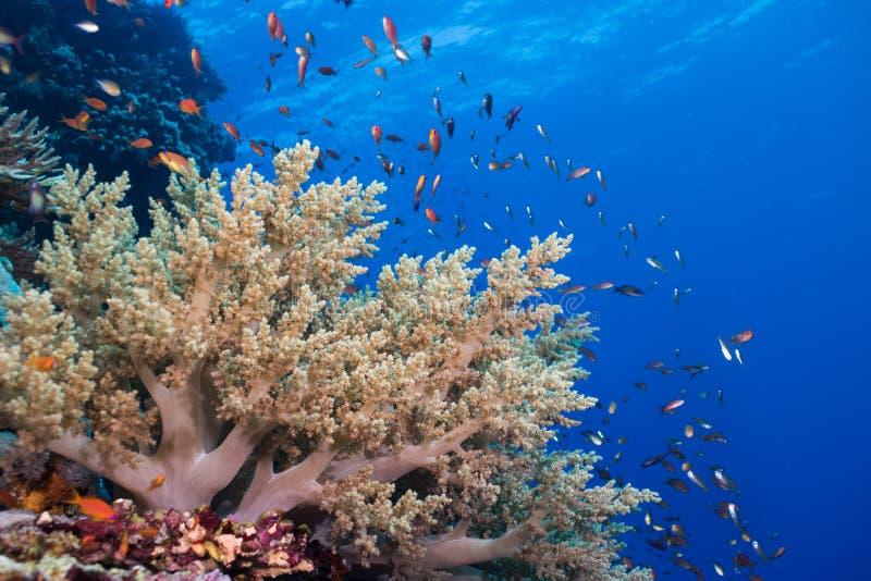 Seascape do recife de corais e do banco de areia de anthias de Lyretail fotografia de stock