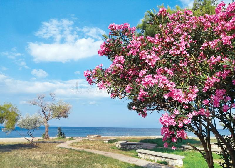 Seascape do verão, parque com as flores cor-de-rosa de florescência, árvore do oleandro, bancos de pedra, praia Romance no fundo  fotografia de stock