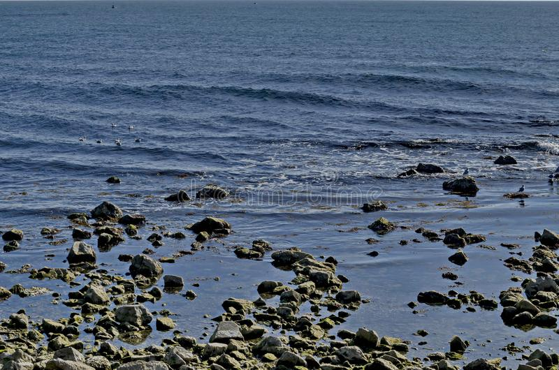 Seascape, Larus argentatus w pływaniu lub i relaksujemy na wybrzeżu zdjęcia royalty free