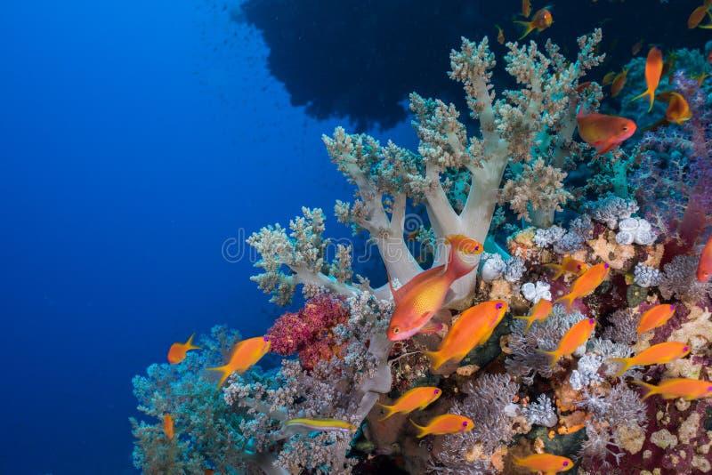 Seascape med lyretailanthiasPseudanthias squamipinnis fiskar arkivfoton