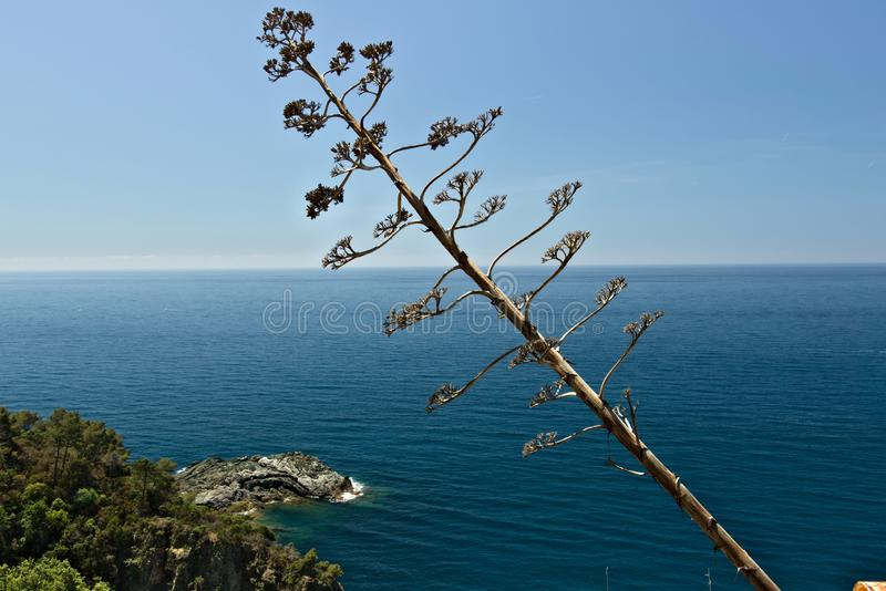 Seascape near the Cinque Terre in Liguria. An Agave flower in the foreground and a blue sea with waves and rocks. stock image