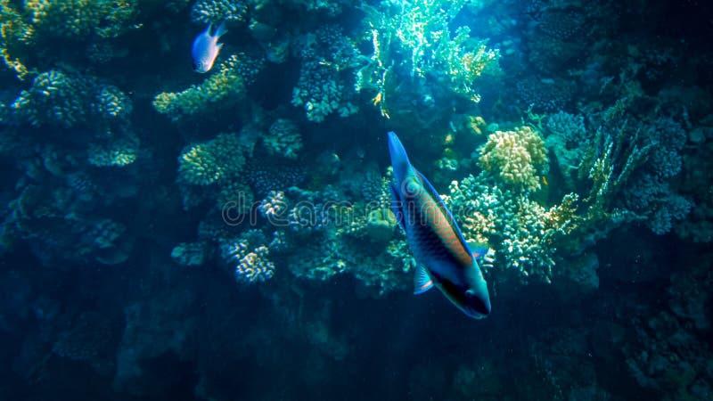 Seascape subaqu?tico bonito do recife de corais colorido e lotes dos peixes tropicais que nadam ao redor foto de stock