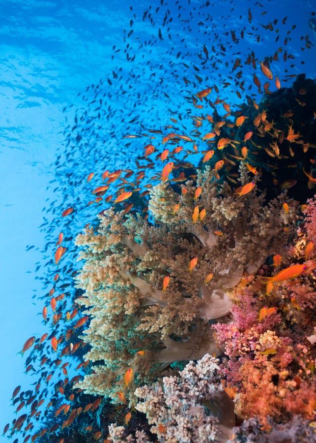 Seascape tłum Lyretail anthias i rafa koralowa fotografia royalty free