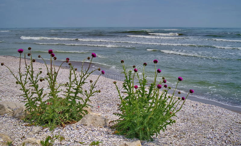 Seascape on the Black Sea. Thistles blossom - Romania royalty free stock photo