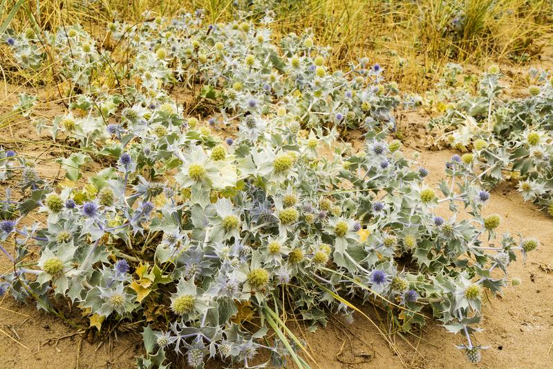 Seascape z piaskowatymi diunami i Dennego holly roślinami zdjęcie stock
