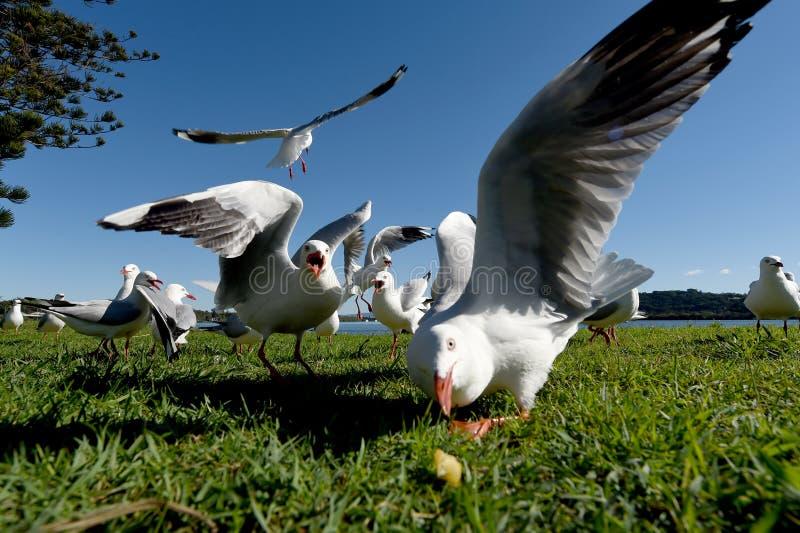 Seasgulls Fütterung lizenzfreie stockbilder