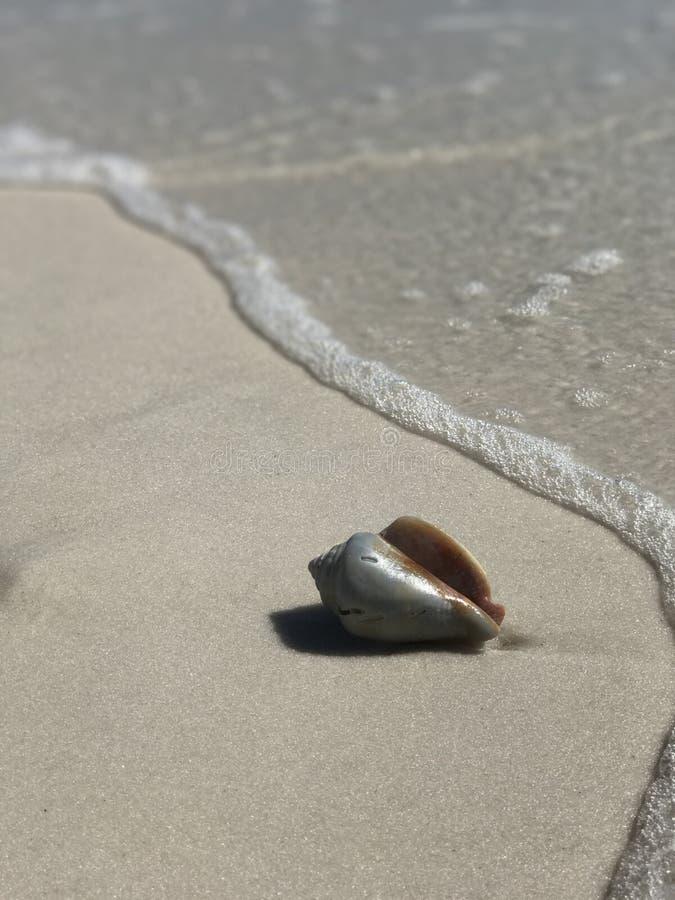 Seashell в Мексиканском заливе стоковое изображение rf