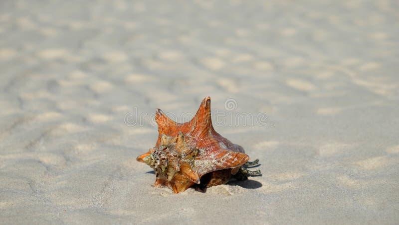 Seashell на песчаном пляже стоковые фотографии rf
