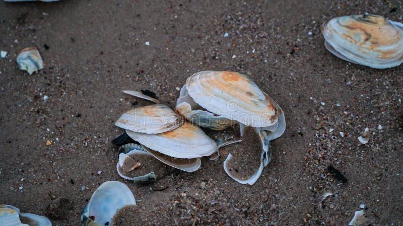 seashell zdjęcie royalty free