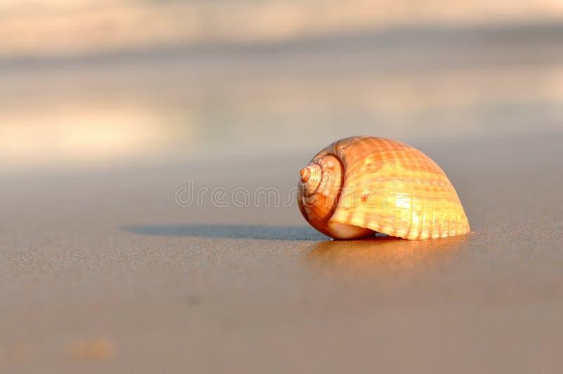Seashell image libre de droits