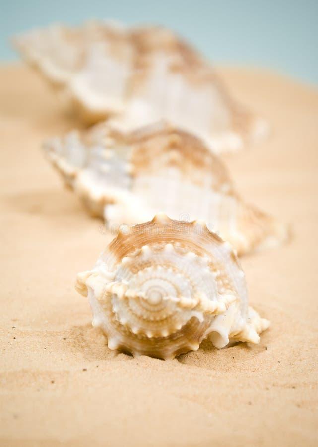 Seashell royalty free stock images