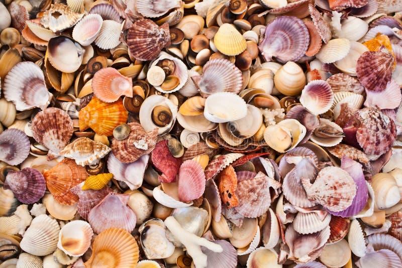 Seashell foto de stock