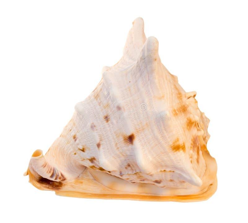Download Seashell stock image. Image of large, macro, white, seashell - 19976597