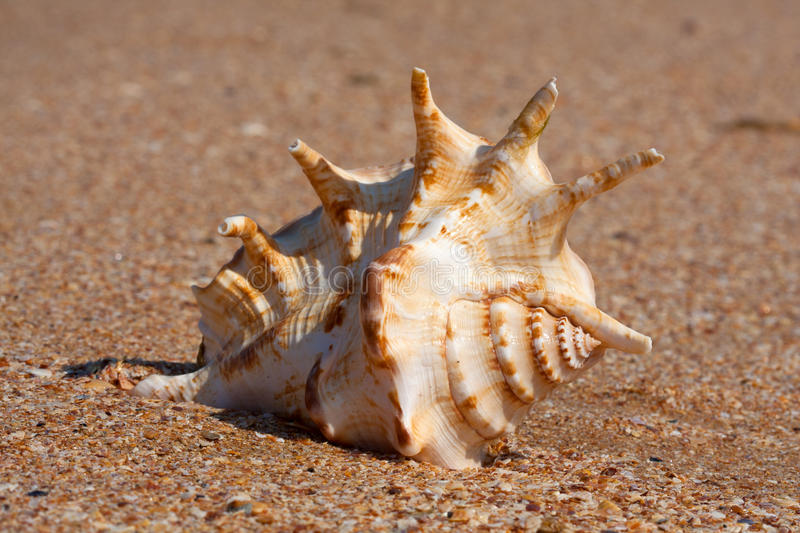 Download Seashell Royalty Free Stock Images - Image: 26831959