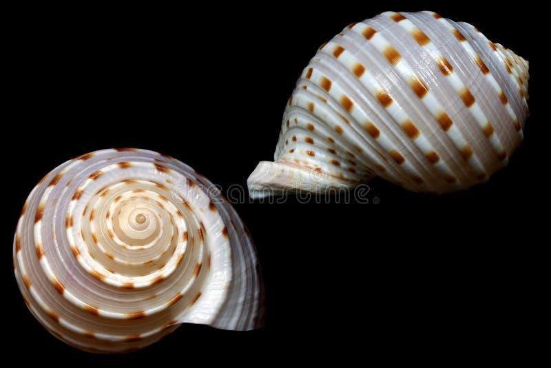 seashell fotografia royalty free