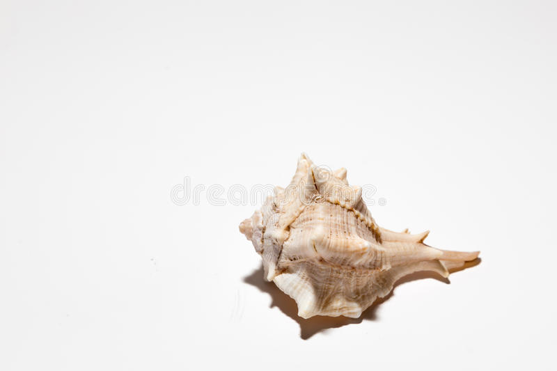 seashell obraz royalty free