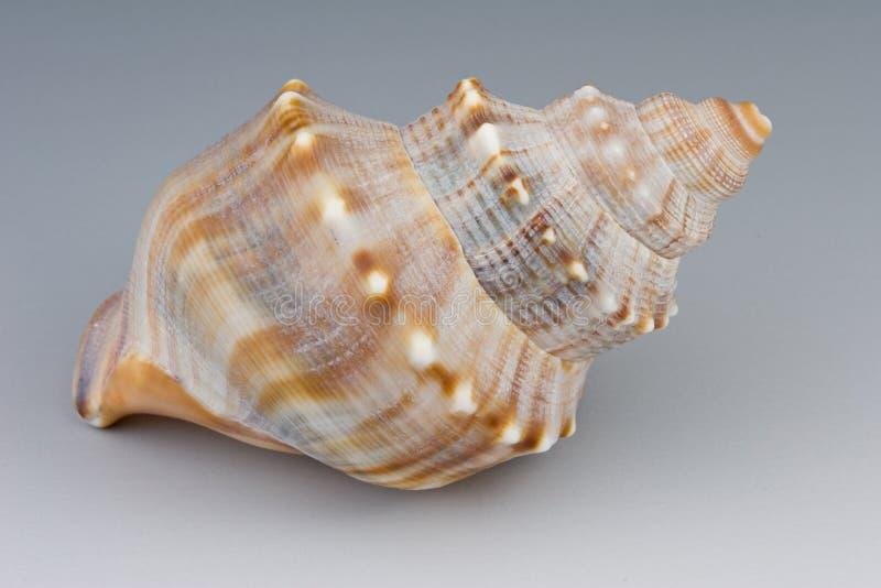 Download Seashell стоковое фото. изображение насчитывающей aquatics - 480548