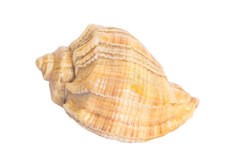 seashell obraz stock