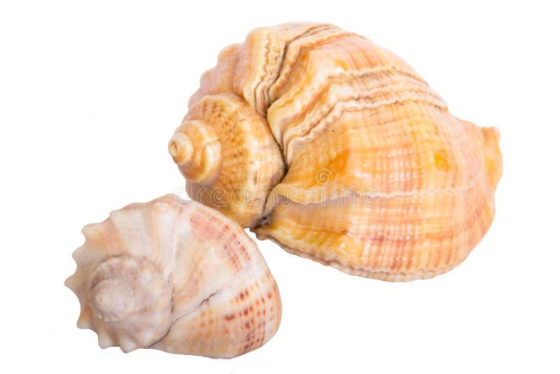 seashell obrazy royalty free