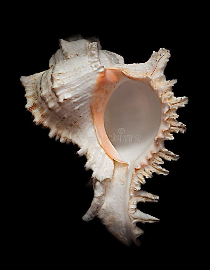 Seashell2 arkivbilder