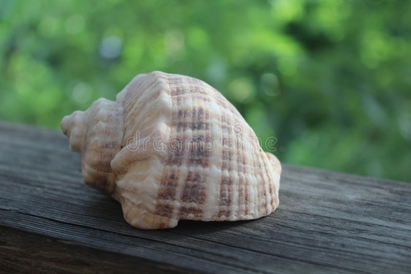 seashell stockfoto