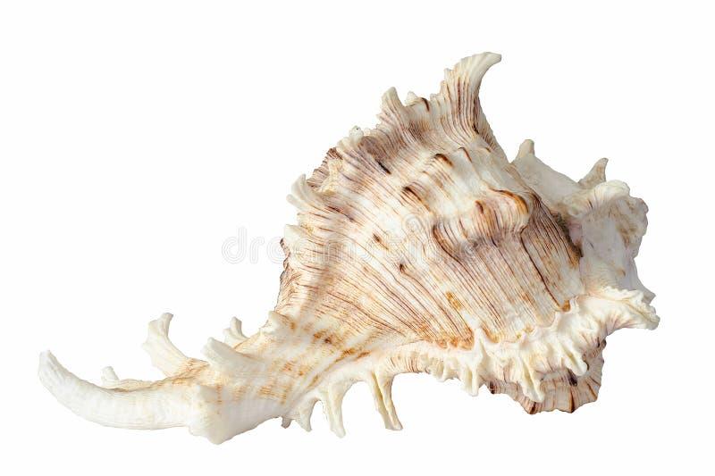 seashell στοκ εικόνες με δικαίωμα ελεύθερης χρήσης
