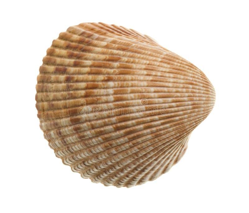 Seashell aislado en blanco fotos de archivo libres de regalías