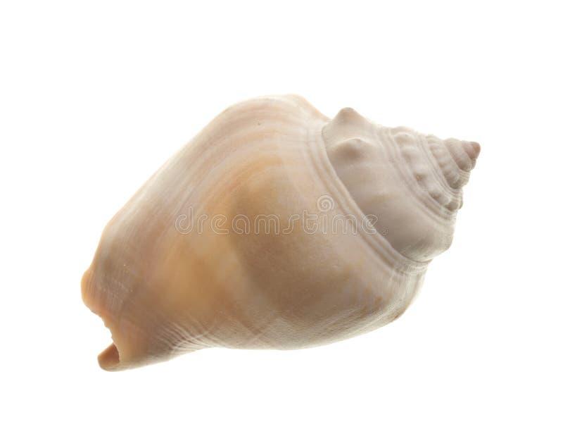 Seashell aislado en blanco foto de archivo libre de regalías
