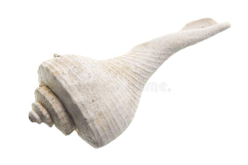 Seashell aislado en blanco imagen de archivo