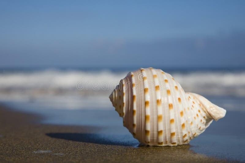 Seashell auf dem Strand lizenzfreie stockfotos