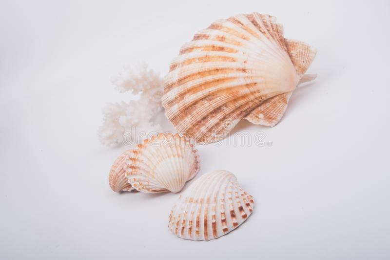 Seashell auf einem weißen Hintergrund stockbilder