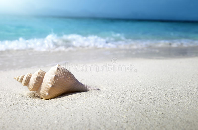 Seashell on the beach. (shallow DOF royalty free stock image