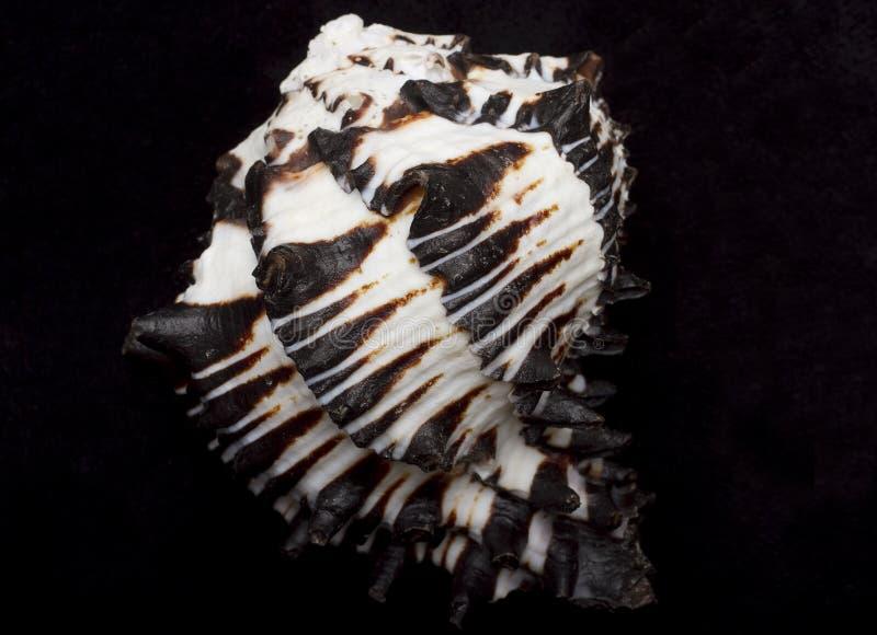 Seashell blanco y negro imagen de archivo libre de regalías